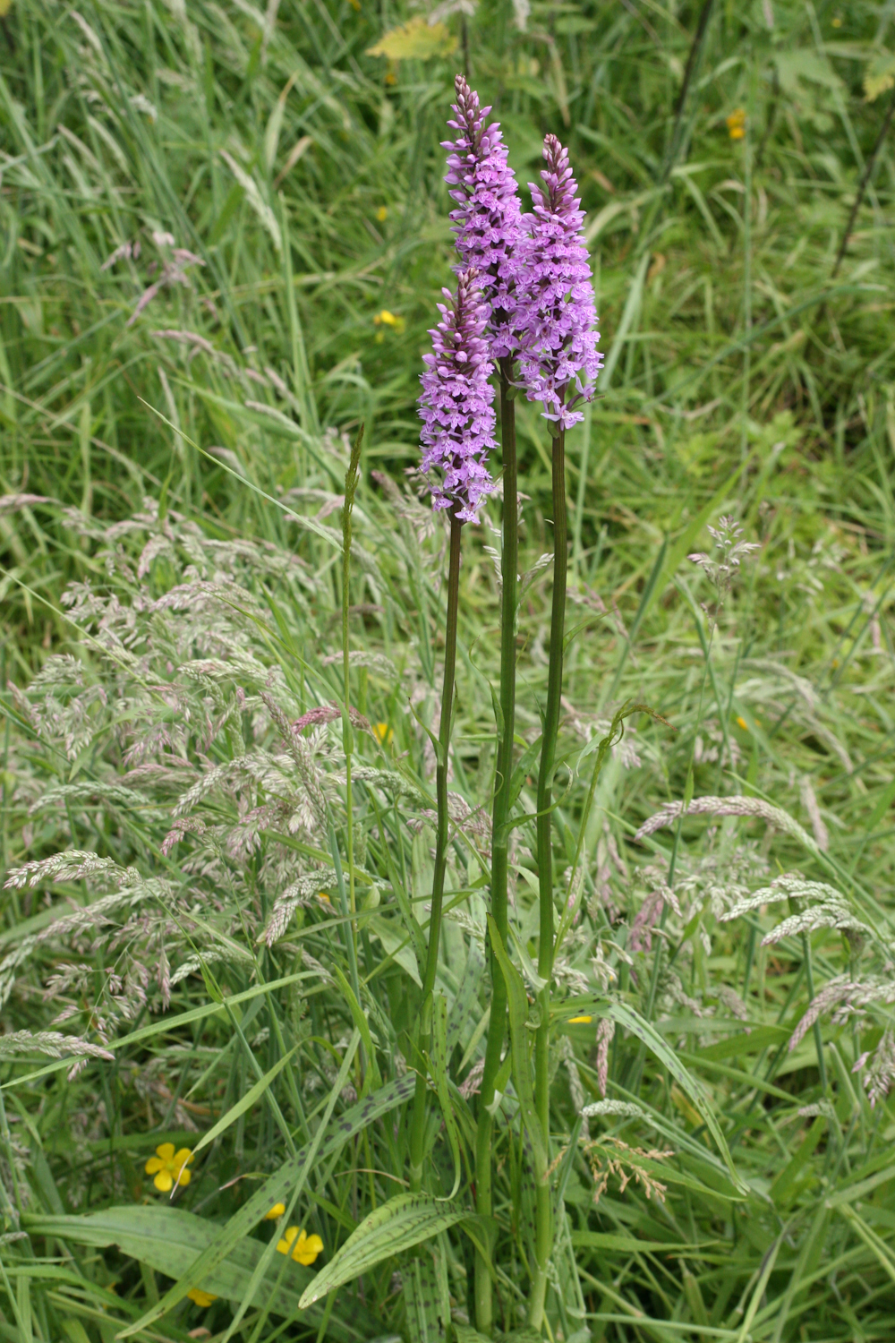 Dendrobium Kingianum likewise Wild Orchid Seed For Sale moreover Bat Plants besides Cylindrical Snake Plant besides The Angel Orchid. on growing orchids from seed