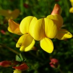Bird's-foot-trefoil or 'Eggs and Bacon'