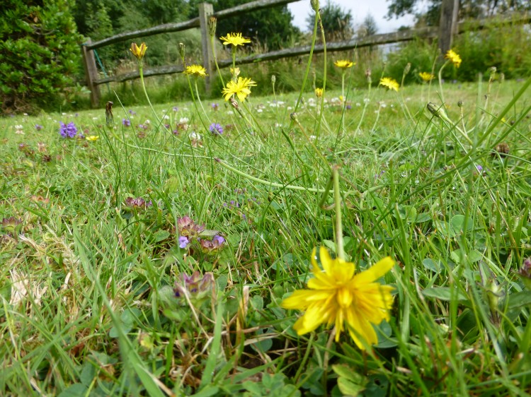 Wild flower lawn seed mix wild flower lawns meadows buy creeping buttercup flower mightylinksfo