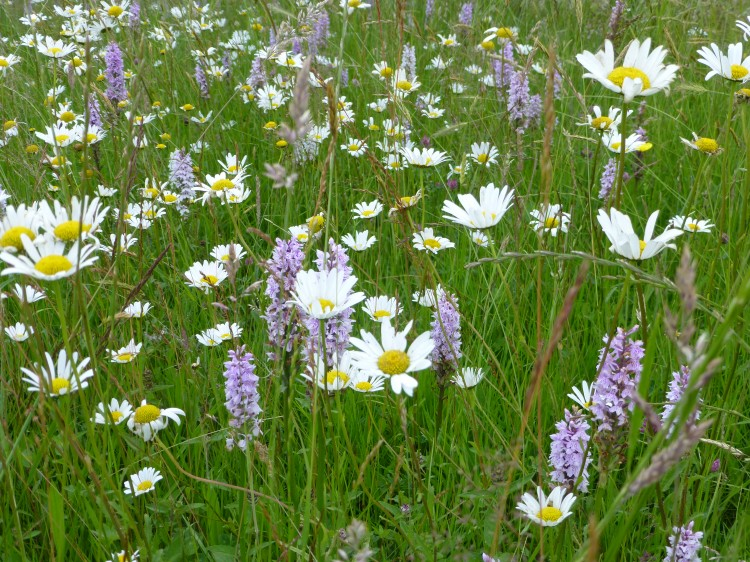 Wild Flower Lawn Seed Mix Wild Flower Lawns Meadows Buy