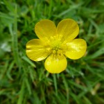Creeping Buttercup flower