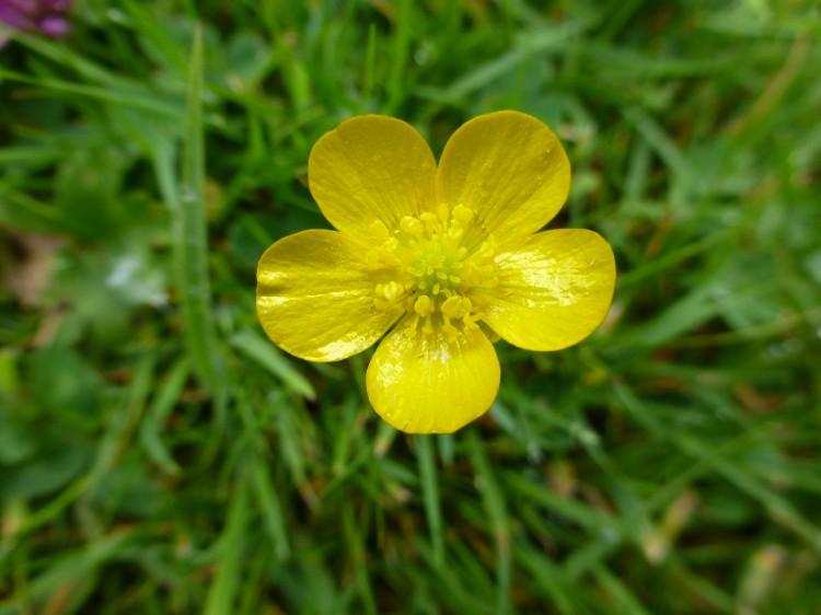 Wild Flower Lawn Seed Mix Wild Flower Lawns Amp Meadows