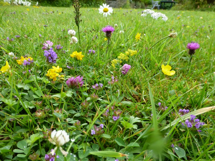 Wild flower lawn seed mix wild flower lawns meadows buy this mightylinksfo