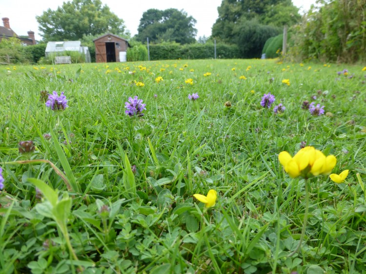 Wild flower lawn seed mix wild flower lawns meadows buy once established mightylinksfo