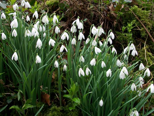 english bluebell wild daffodil snowdrop bulbs etc wild flower