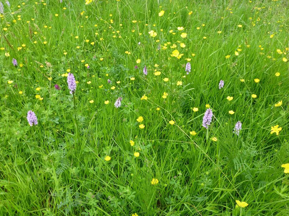 Common Spotted Orchids flowering with Buttercups