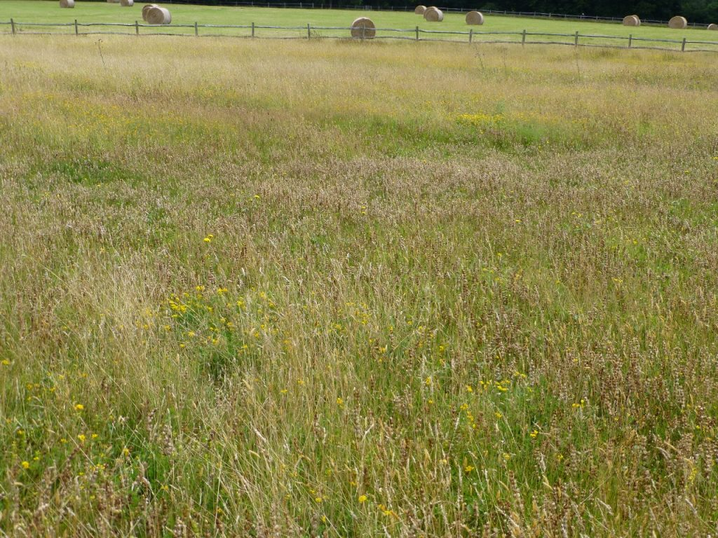 The results of adding the Yellow Rattle seed rich cuttings in late summer 2015, photo taken late July 2016 showing swathes of Yellow Rattle seed heads